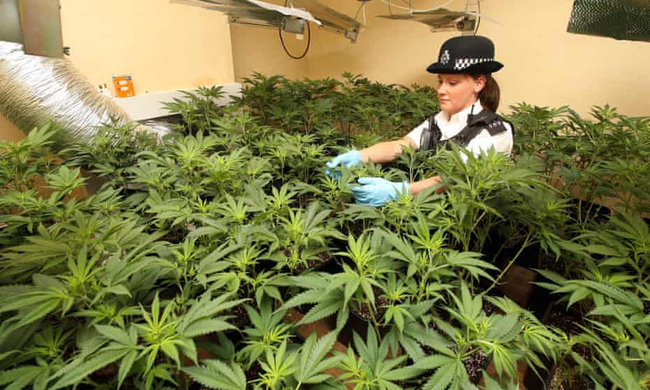 A police raid of a cannabis factory in a house in east London last month.