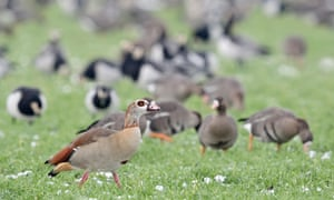 Egyptian geese, with wintering arctic geese in the background, in Germany.