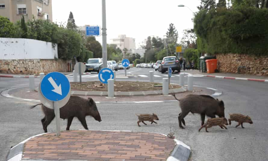 A wild boar family with three cubs cross in a traffic circle at a street of the Carmel neighbourhood in the northern city of Haifa, Israel, during the coronavirus lockdown.