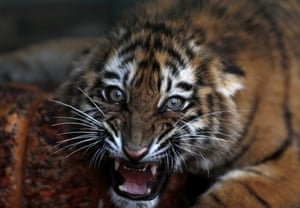A Siberian tiger destined for a zoo in war-torn Syria, and rescued by an animal rights group, roars inside a cage in Aley, east of Beirut.