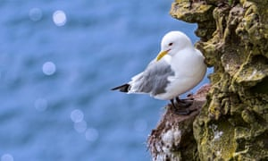 A black-legged kittiwake rests on a rock ledge in Scotland, UK.
