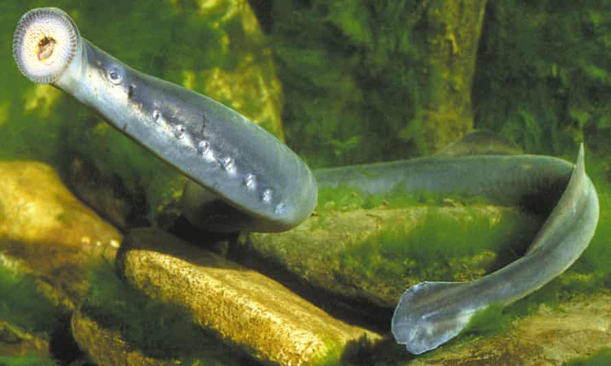 A modern Short-Headed Lamprey, a jawless fish found in Australia's major river systems.