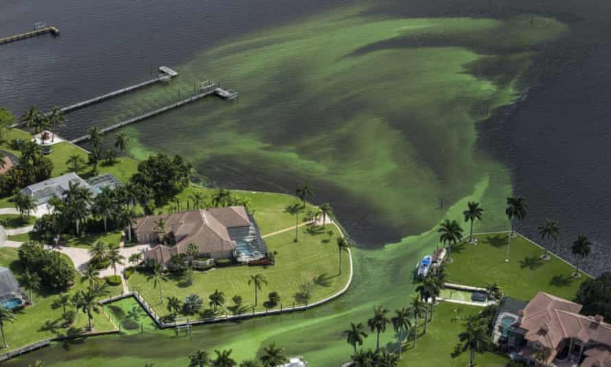 Blue-green algae envelope an area along the St Lucie River in Stuart, Florida, in June 2016.
