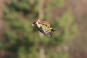 The weasel attacked the woodpecker