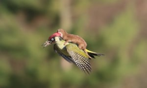 We have lift-off: Martin Le-May shot this image in Hornchurch Country Park in London. The weasel attacked the woodpecker and refused to give up even when the bird took flight.