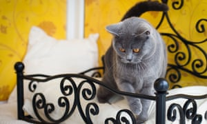 A cat checks out its bed at Longcroft luxury cat hotel.