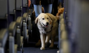 A service dog strolls through the isle of a United Airlines plane.