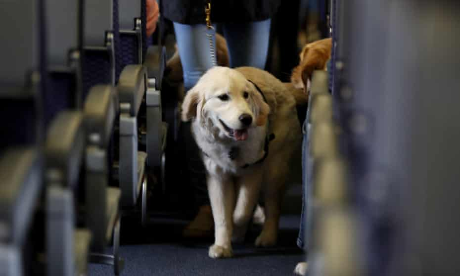 A service dog strolls through the isle inside a United Airlines plane at Newark Liberty International Airport.