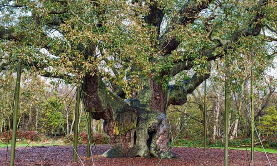 Major Oak in Sherwood Forest Country Park, Nottinghamshire, was voted England's tree of the year in 2014. According to folklore the tree sheltered Robin Hood and his merry men.