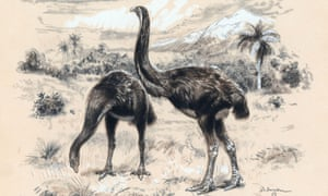 The giant moa was a flightless bird that became extinct 500 years ago