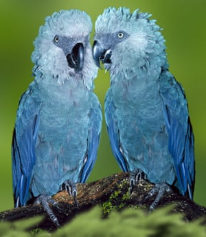 Spix's Macaw.