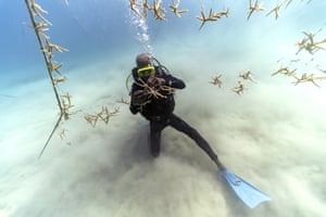 Everton Simpson untangles lines of staghorn coral at a nursery inside the White River fish sanctuary