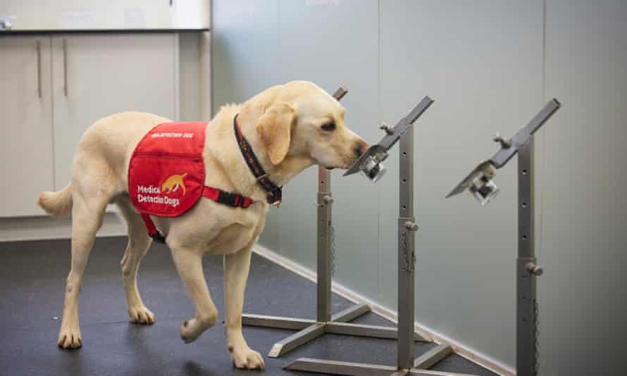 Tala, 3, a medical detection dog, during training to detect the presence of Covid-19 in samples of socks worn for 12 hours by volunteers across the UK.