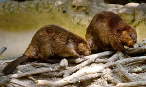 Two North American beavers