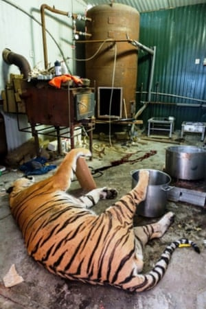 Police believe the criminals could sell the tiger skins for about €2,000-€4,000 and the claws for €100 each