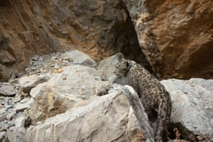 An undated WWF handout photo of Zeborong, the first snow leopard, walks away after revival from sedation, after successful collaring