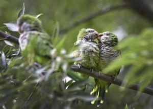 Monk parakeets (Myiopsitta monachus) rest on a tree in Madrid's Atena park