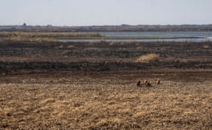 Wild boars on dry wetland in Entre Rios Province, Argentina. Punished by a brutal drought, the Parana River Delta, one of the largest and most biodiverse in the world, has been burning since the beginning of this year