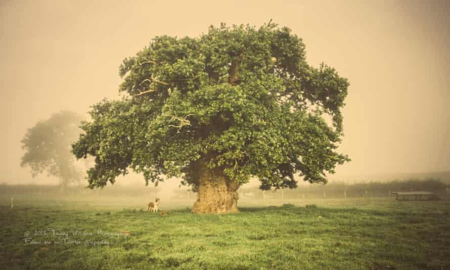 Brimmon oak