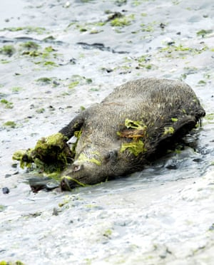 A dead wild boar lies in a cove in the bay of Saint-Brieuc in 2011.