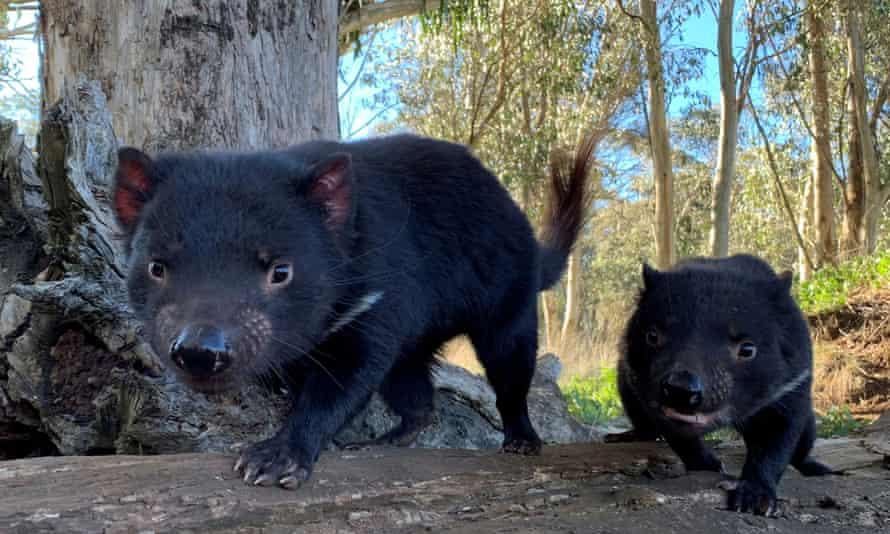 File photo of Tasmanian devils