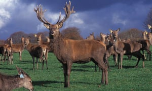 A stag and herd on a deer farm in the west country.