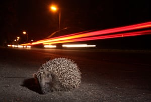 A hedgehog trying to cross the road at night in Sheffield, South Yorkshire, England