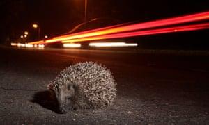 Hedgehog beside a road at night