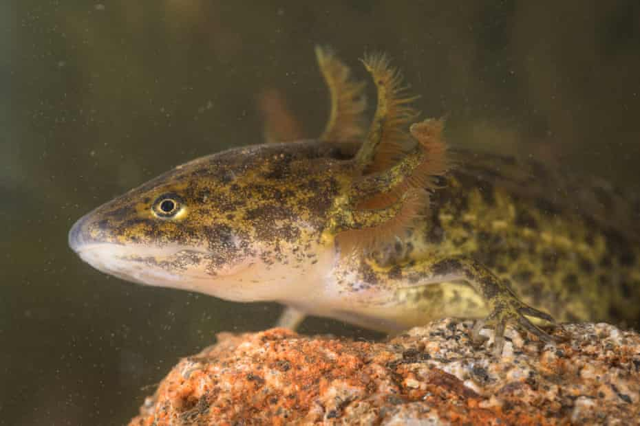 The Iberian ribbed newt in its aquatic phase