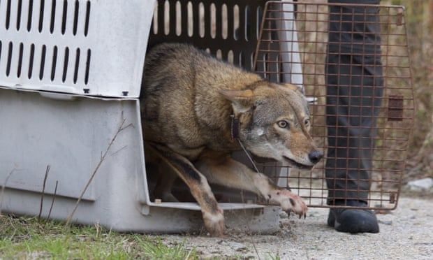 A red wolf being released as part of the rewilding programme in 2013. Photograph: B Bartel/USFWS