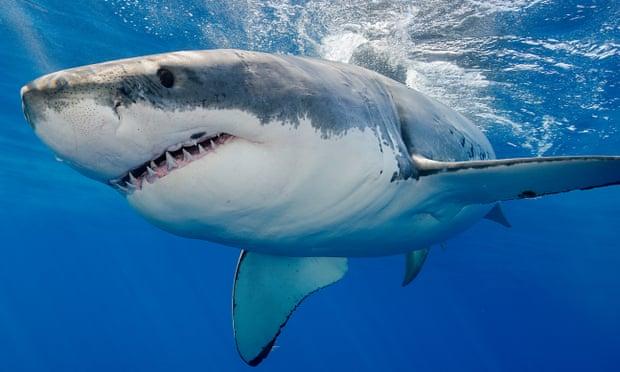 California shark attack: surfer survives great white bite near San Francisco