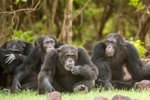A still from Sir David Attenborough's BBC1 series Dynasties showing chimps in Senegal.