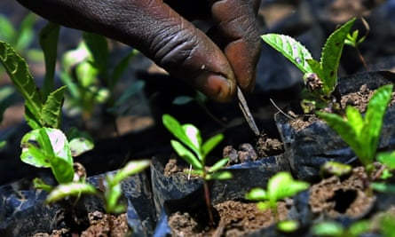 A farmer tends newly planted trees