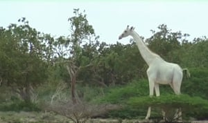 A rare white giraffe filmed in Kenya.