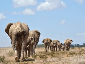 Elephants troop to a water hole at the Amboseli national reserve