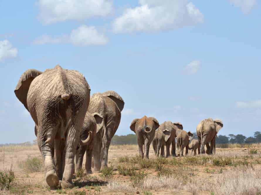 Elephants troop to a water hole at the Amboseli national reserve at the foot of Mount Kilimanjaro