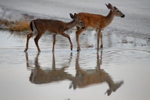 Endangered Key deer are pictured in a puddle following Hurricane Irma in Big Pine Key, Florida, in September 2017.