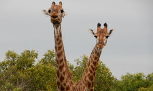 Giraffes, Mkhaya reserve