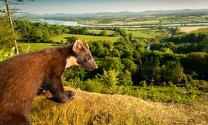 A pine marten looking out over British countryside