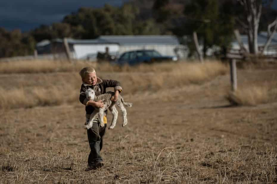 Harry Taylor, 6, picks up a lamb to try and feed it cotton seed.