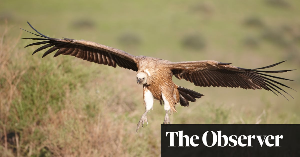 Guess who's coming to dinner? Roadkill placed on 'sky tables' to lure rare birds of prey