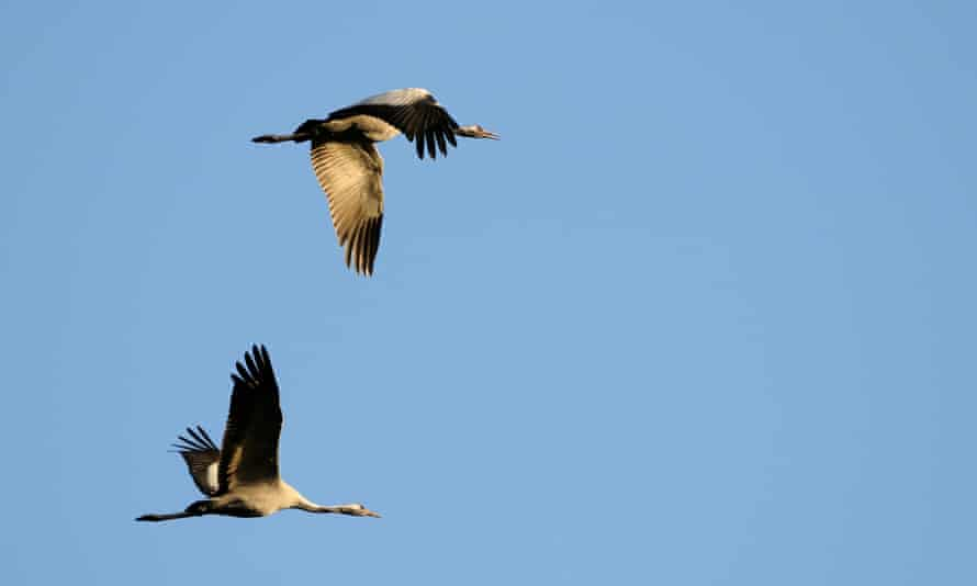 A pair of common cranes in flight.