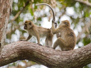 Long-tailed macaques, Tanjung Puting, Borneo.