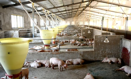 Pig farm in Anhui province of China. If new technologies like FRT become too expensive for small-scale farmers, only a few players will control the agricultural capital.