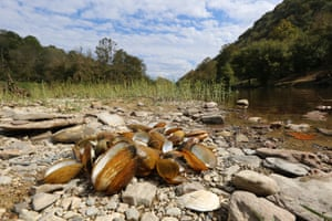 A variety of recently dead freshwater mussels at Wallens Bend, Tennessee, in the Clinch River.