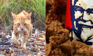 A feral cat and a bucket of KFC.