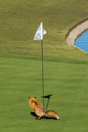 Douglas Croft wins highly commended for his photo of a fox appearing to use a golf course as his personal toilet in San Jose, US.