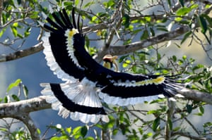 A great hornbill (Buceros bicornis), also called concave-casqued hornbill and one of the larger members of the hornbill family, lands on the branch of a banyan tree with fruits, Bago Region, Myanmar