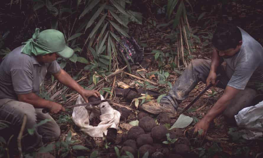 Edivan and Edson Kaxarari harvesting Brazil nuts, Rondônia state, Brazil