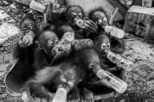 Dilla Djalil Daniel's empathetic images from a rehabilitation centre, where orangutan babies, who have lost their mothers, are prepared for life in the wild in West Kalimantan, Indonesia